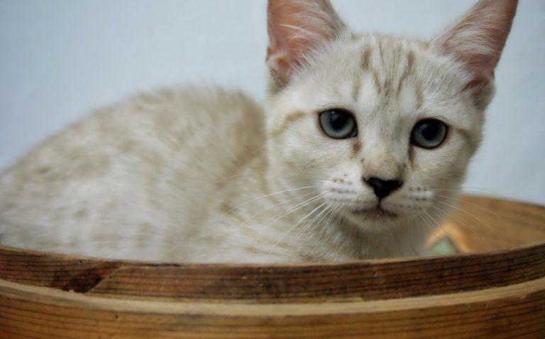 genetta-kitten_shutterstock_syafta