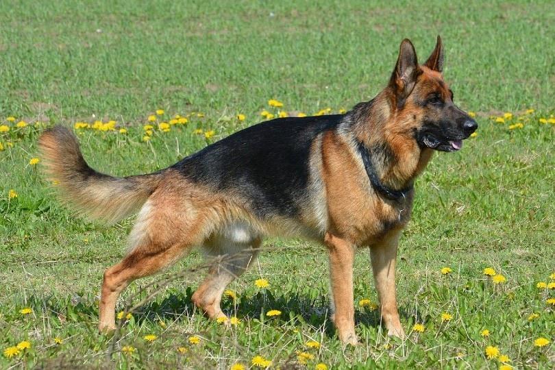 german shepherd dog_Hans Kemperman, Pixabay