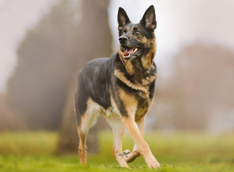 german shepherd walking outdoor