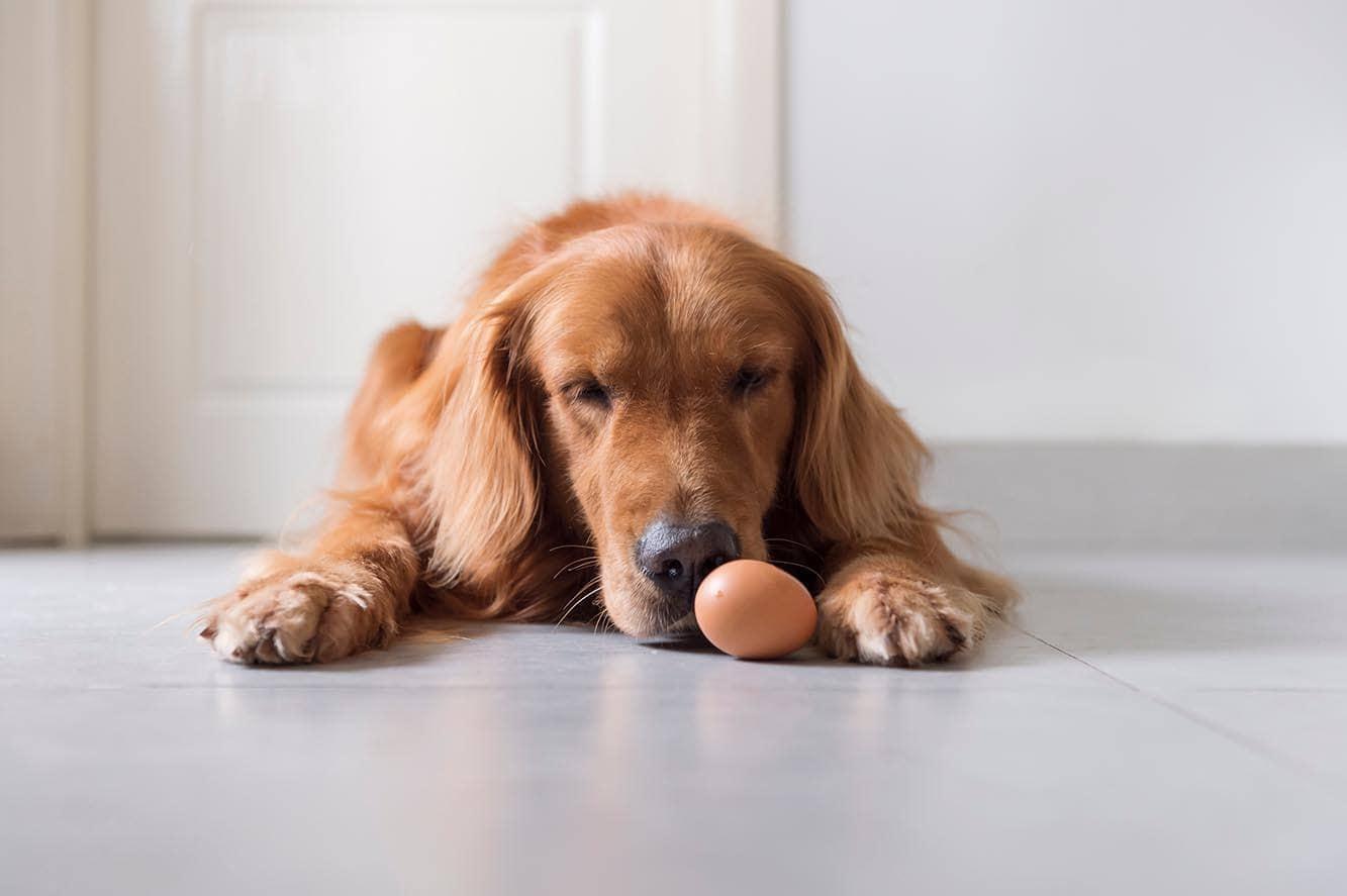 Golden retriever and egg