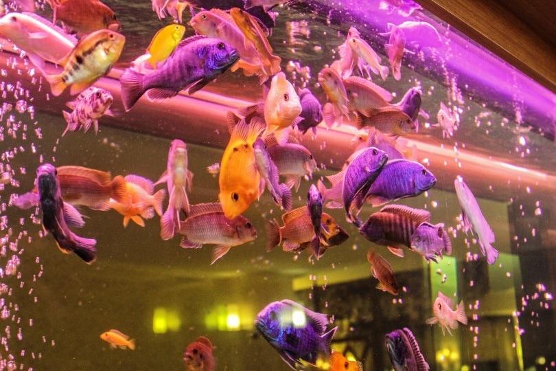 goldfish aquarium_Piqsels