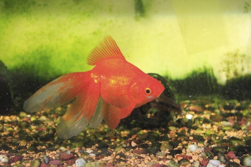 goldfish dirty tank_JenJ_Payless_Shutterstock