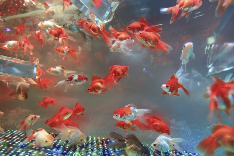 Understanding Why Your Goldfish Died: 9 Potential Reasons