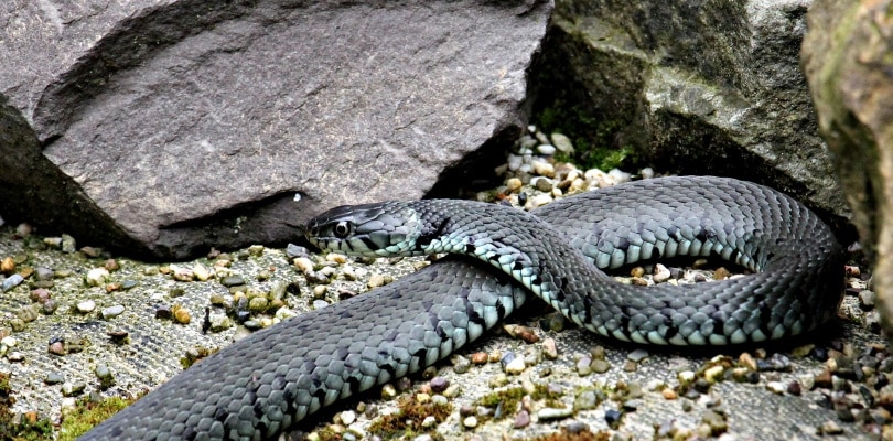 grass-snake_Pixabay