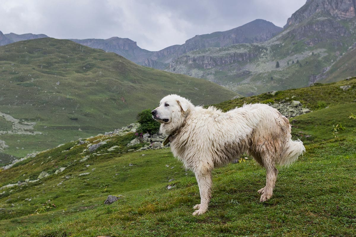 great pyrenees in the mountain