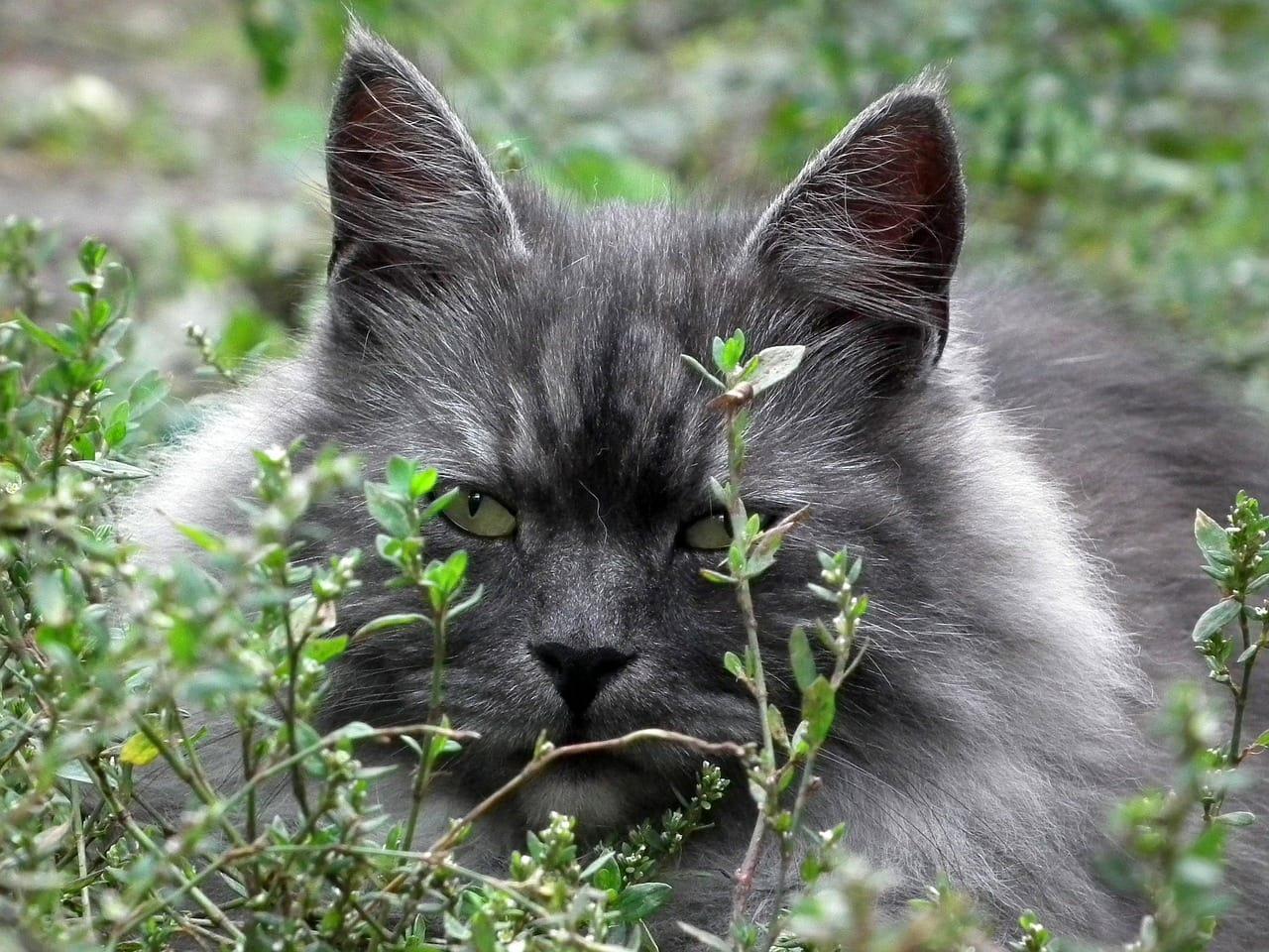 grey siberian cat