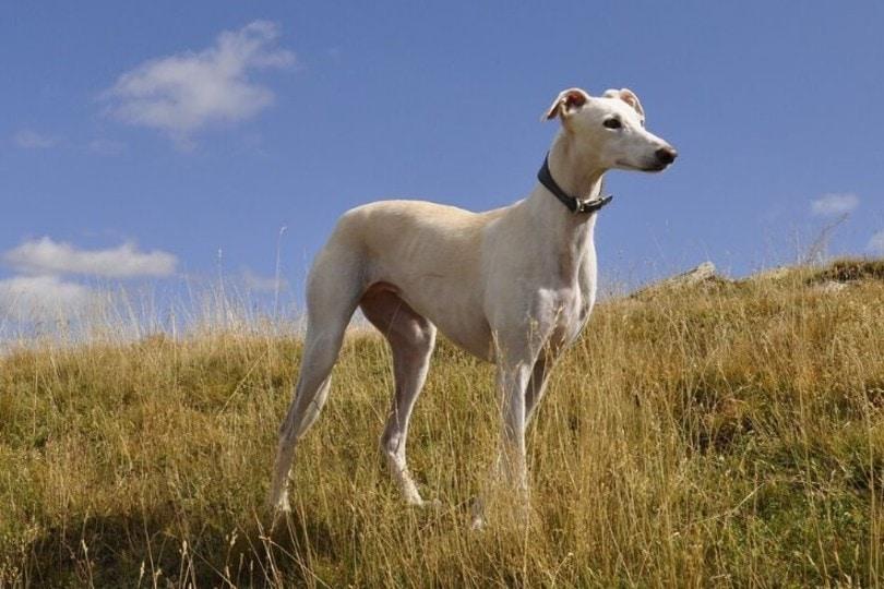 greyhound standing on grass