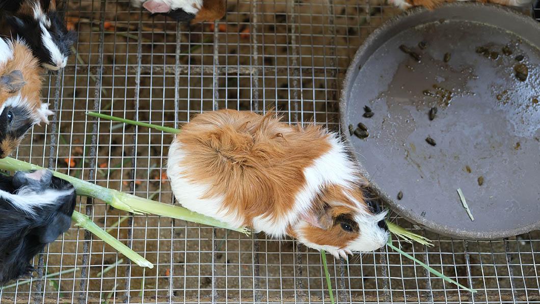 guinea pig inside dirty cage