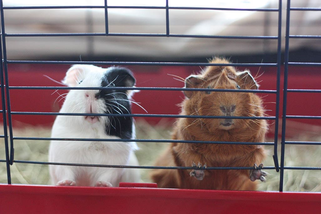 guinea pigs inside their cage