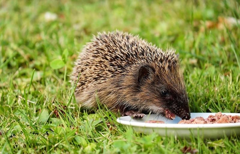 hedgehog eating_Couleur, Pixabay
