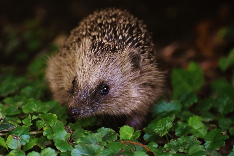 hedgehog eye_Alexas Fotos_Pixabay