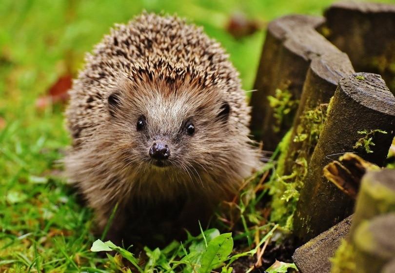 hedgehog pet_Alexas Fotos_Pixabay