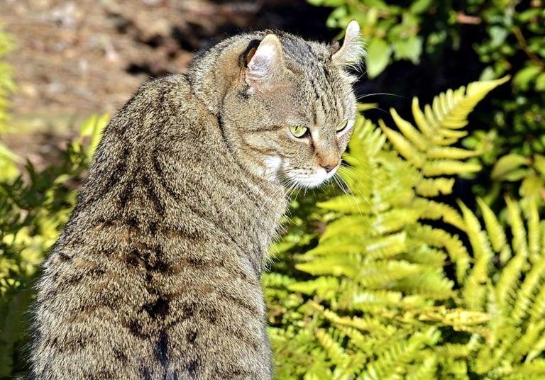 highlander-cat-in-the-garden_Shutterstock_SUSANLEGGETT