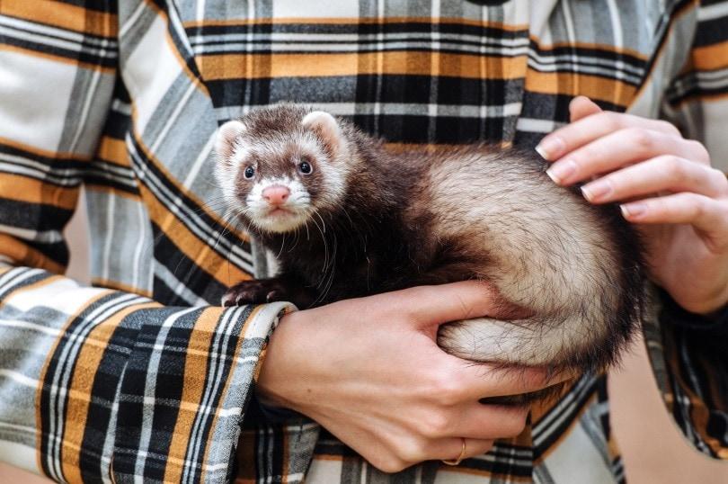 holding ferret II_Mitskevich Uladzimir_Shutterstock