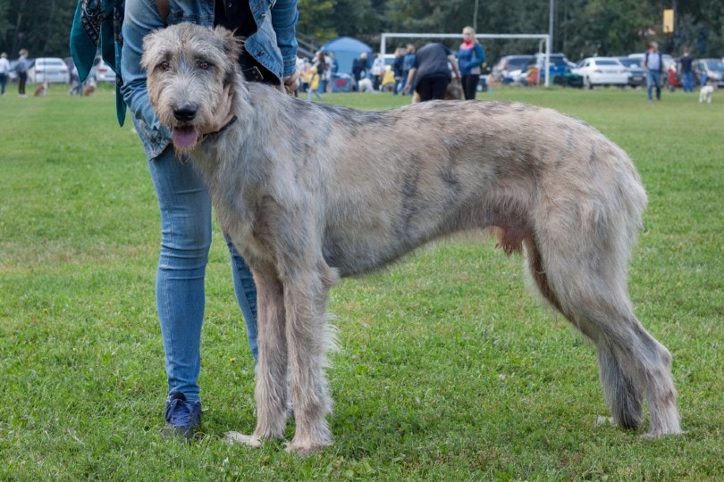 irish wolfhound is standing on a green meadow
