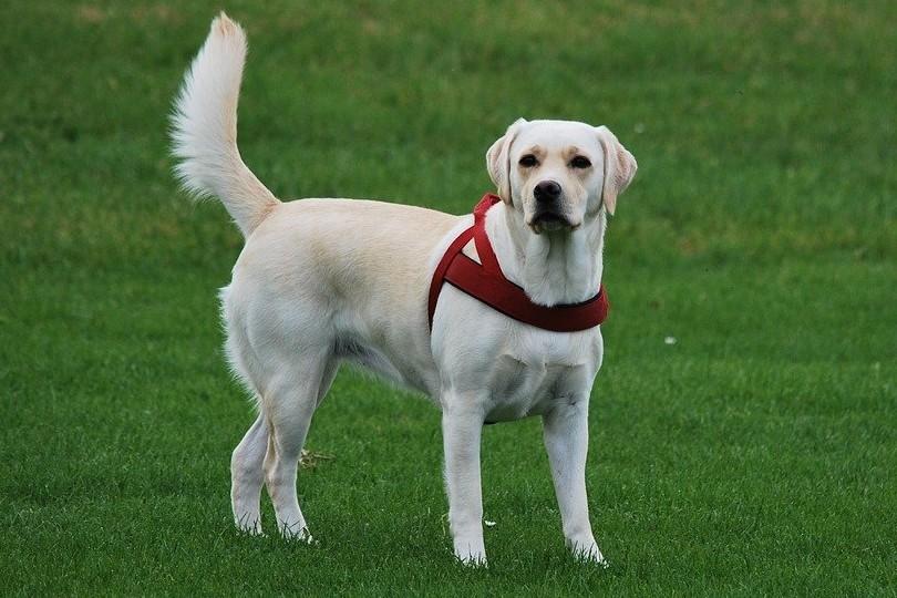 labrador retriever standing on green meadow