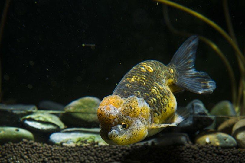 lionchu goldfish__Pixabay