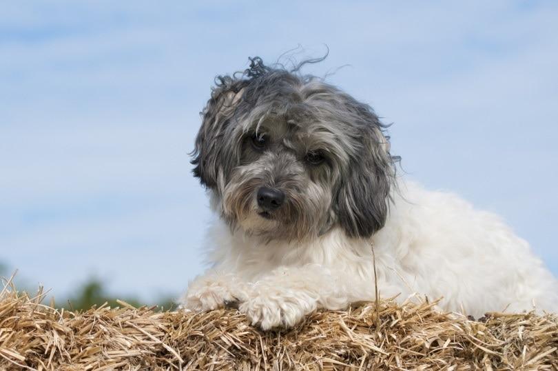 lowchen dog_ chili71 _Pixabay