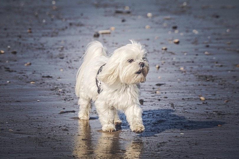 maltese dog walking on seashore