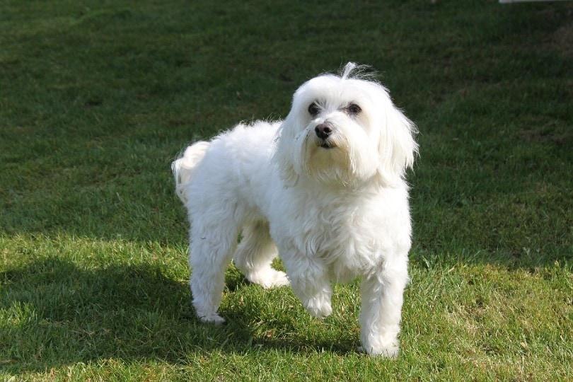 maltese dog_Tania Van den Berghen, Pixabay