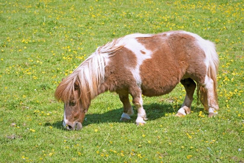 miniature horse in grass_Peter is Shaw 1991_Shutterstock