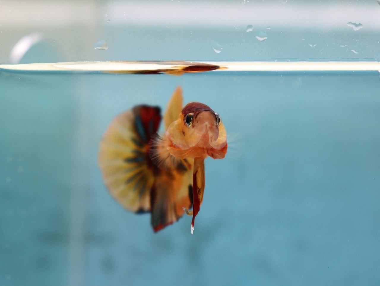 nemo koi betta fish