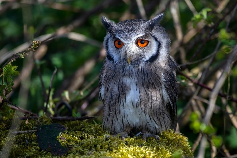 northern white face owl_Anthony King Nature_Shutterstock