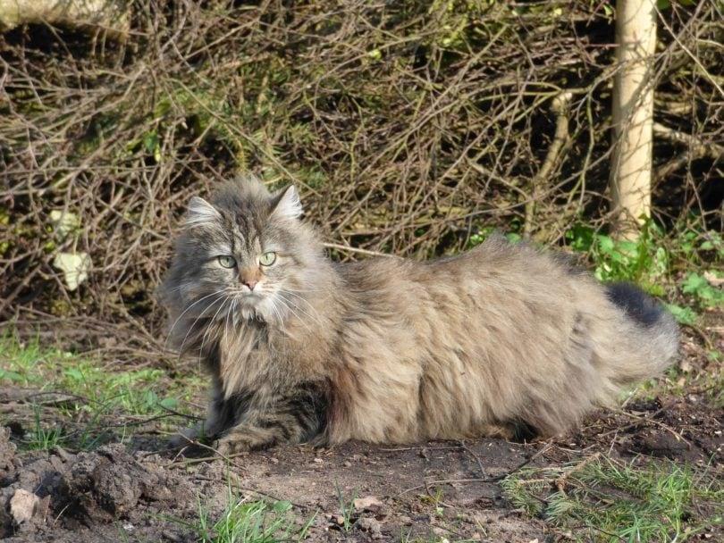 norwegian forest cat_Pixabay