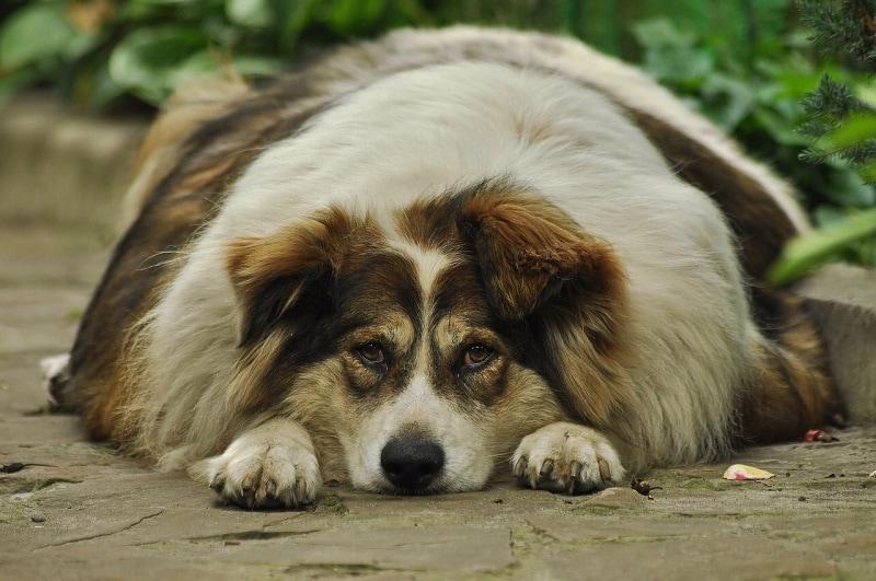 obese dog_Ihtar, Pixabay