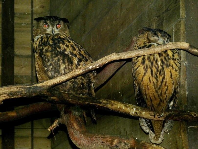 owl cage_falco_Pixabay