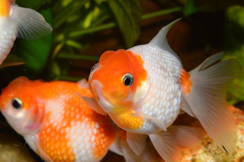 pearlscale goldfish_Juan Carlos Palau Díaz_Pixabay