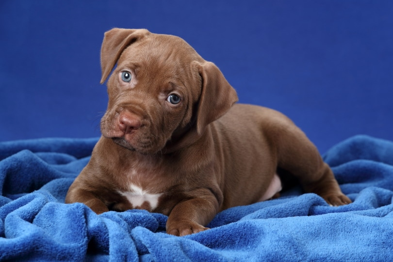 pitbull terrier puppy_Ivanova N_Shutterstock