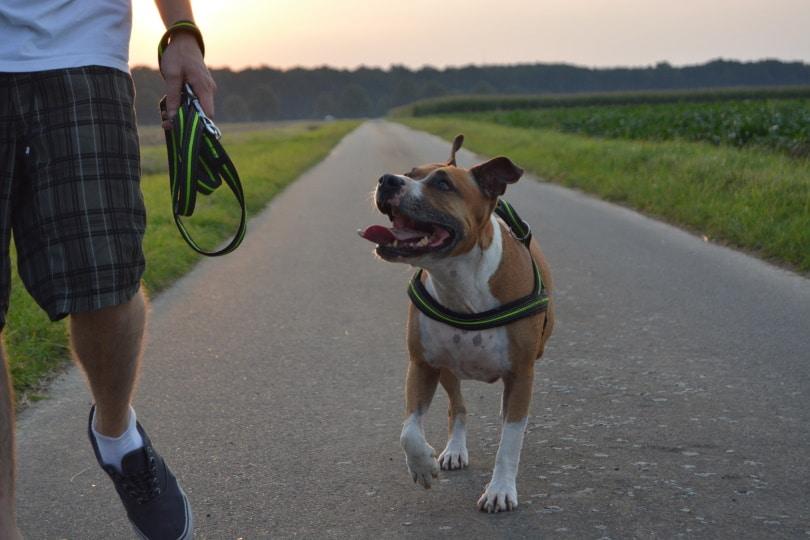 pitbull terrier walking_Piqsels