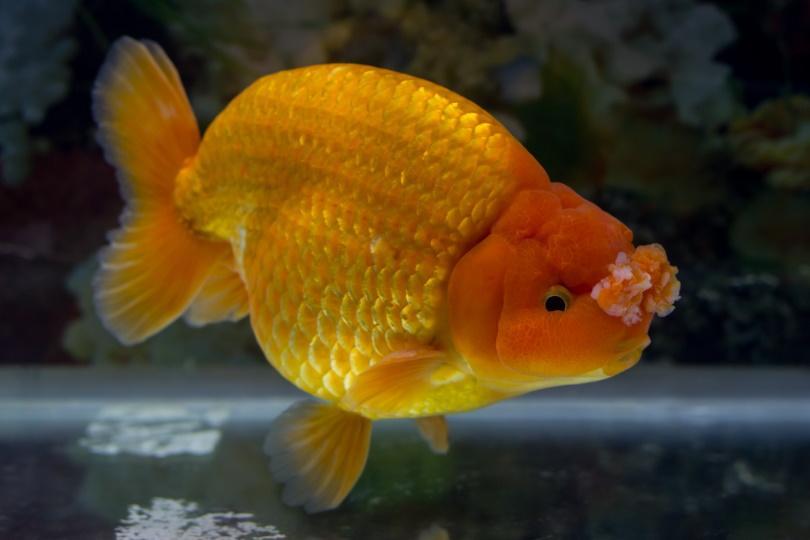 pom pom goldfish_Ek Ing_Shuterstock