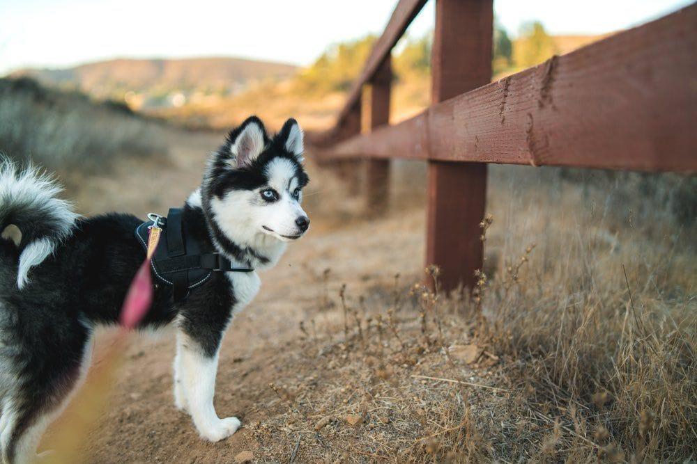 pomsky on a walk