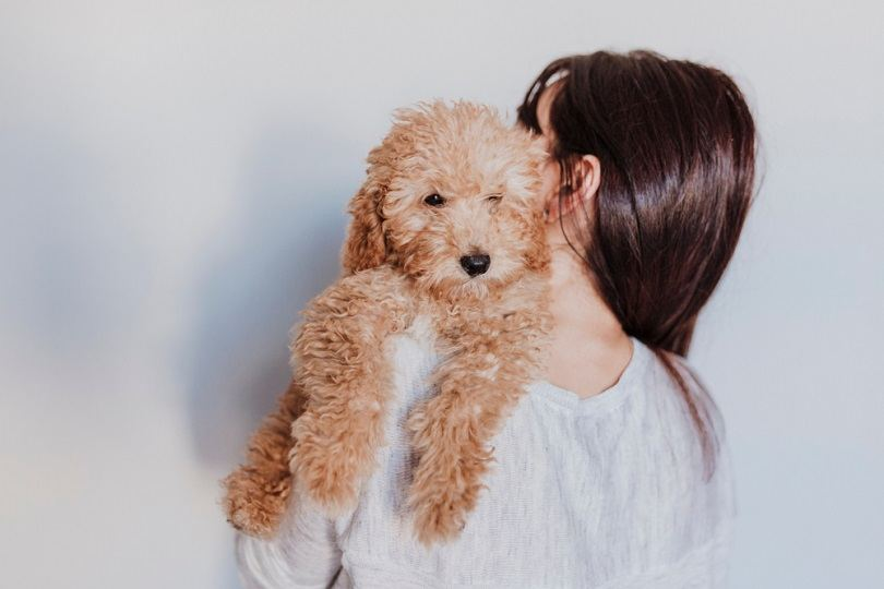 portrait of a Cute brown toy poodle with his young woman