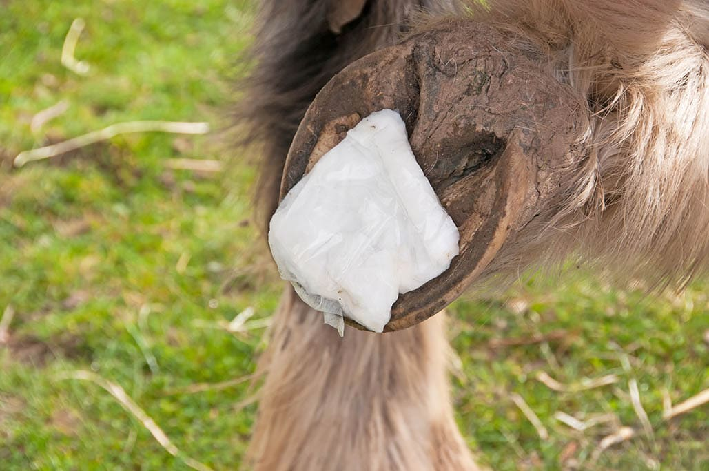 Poultice applied to hoof