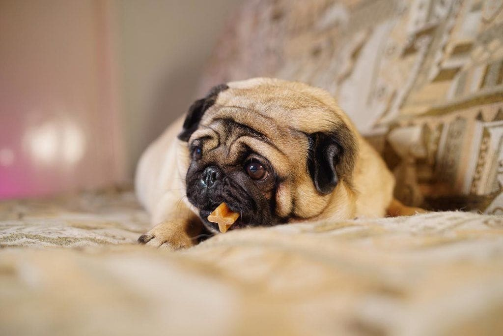 pug chewing dental treat