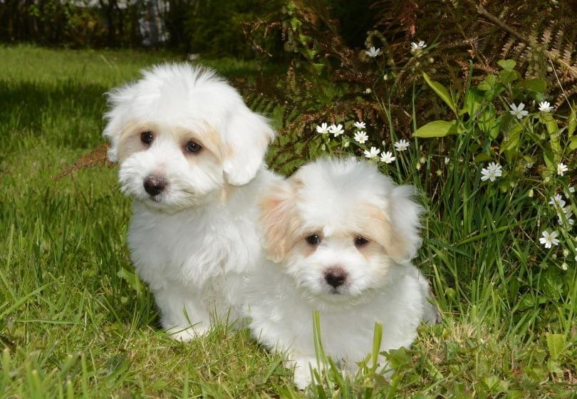 puppies coton de tulear_JacLou DL_Pixabay