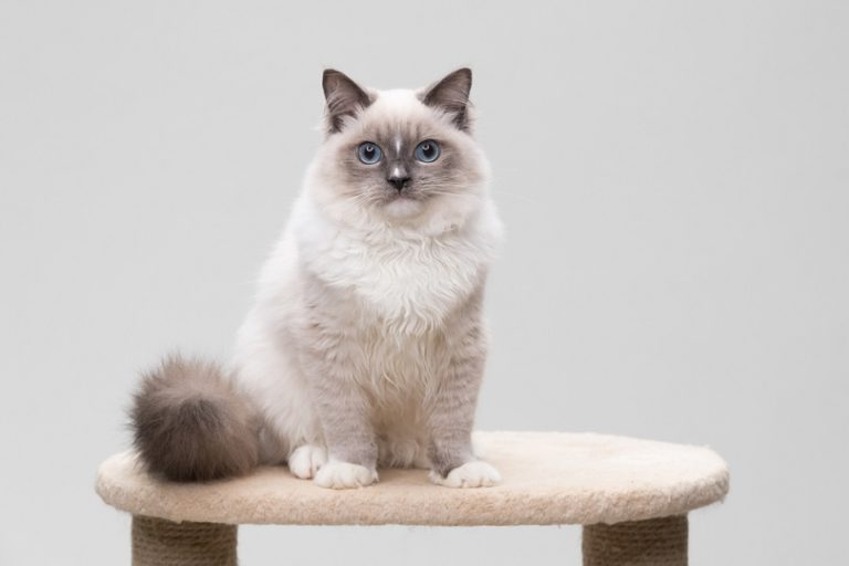 ragdoll-cat-sitting-on-a-climbing-frame_izmargad_Shutterstock