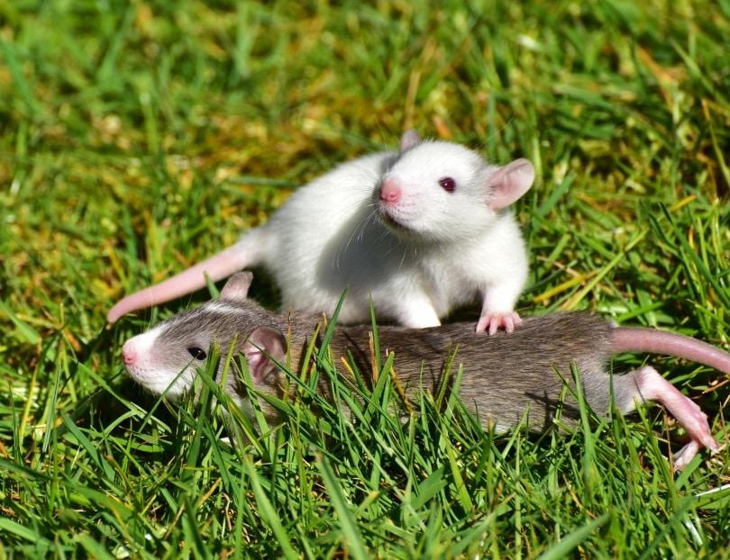 rats in grass_sipa_Pixabay