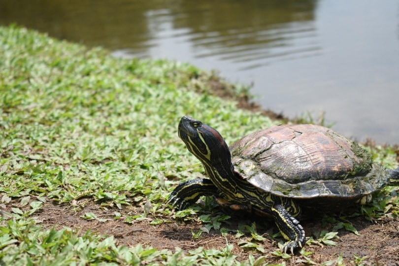 red eared slider in grass_Nobo Xious_Pixabay