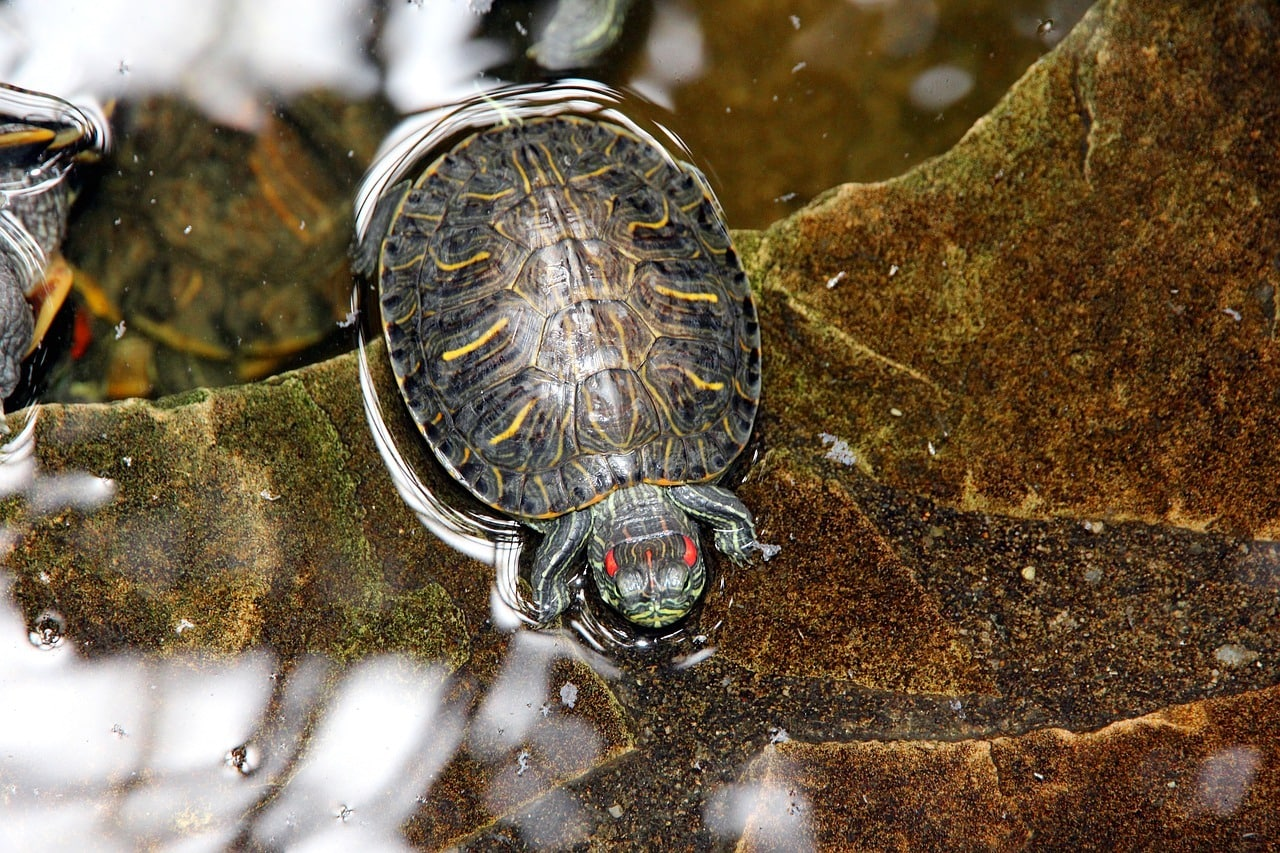 red eared slider in the water