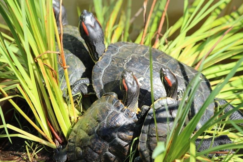 red eared slider turtle_Piqsels