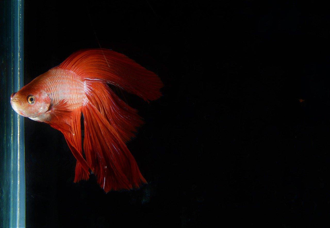 red tail betta fish