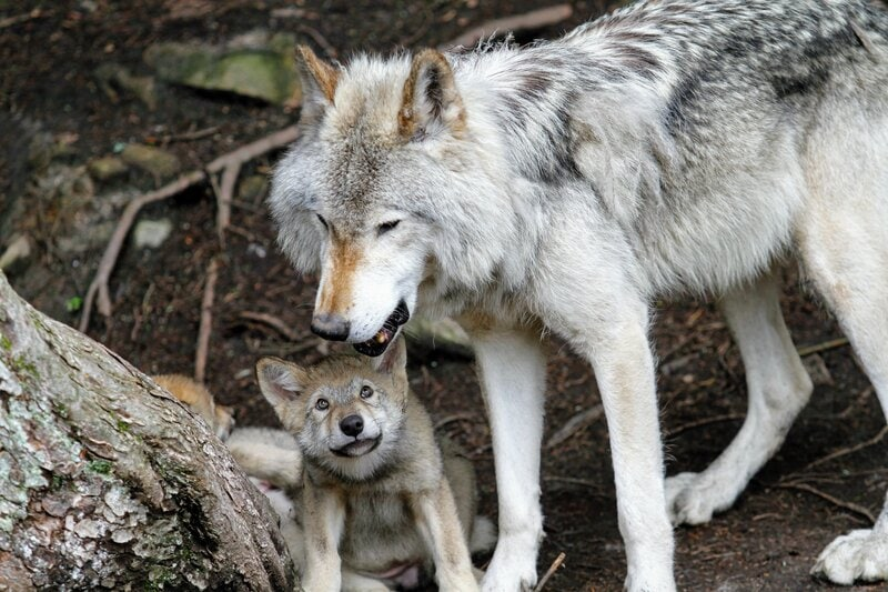 wolf with wolf pup