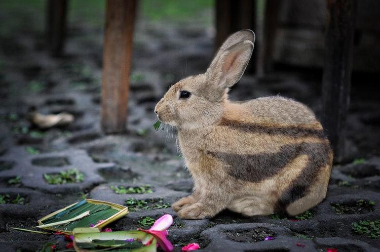 striped rabbit