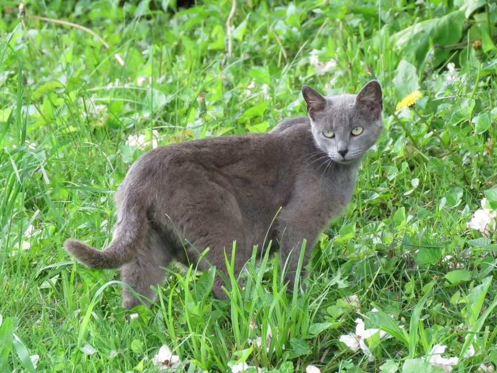 russian blue cat in grass