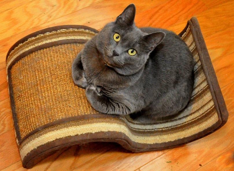 russian blue cat on scratcher