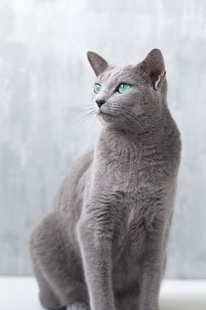 russian blue cat sitting